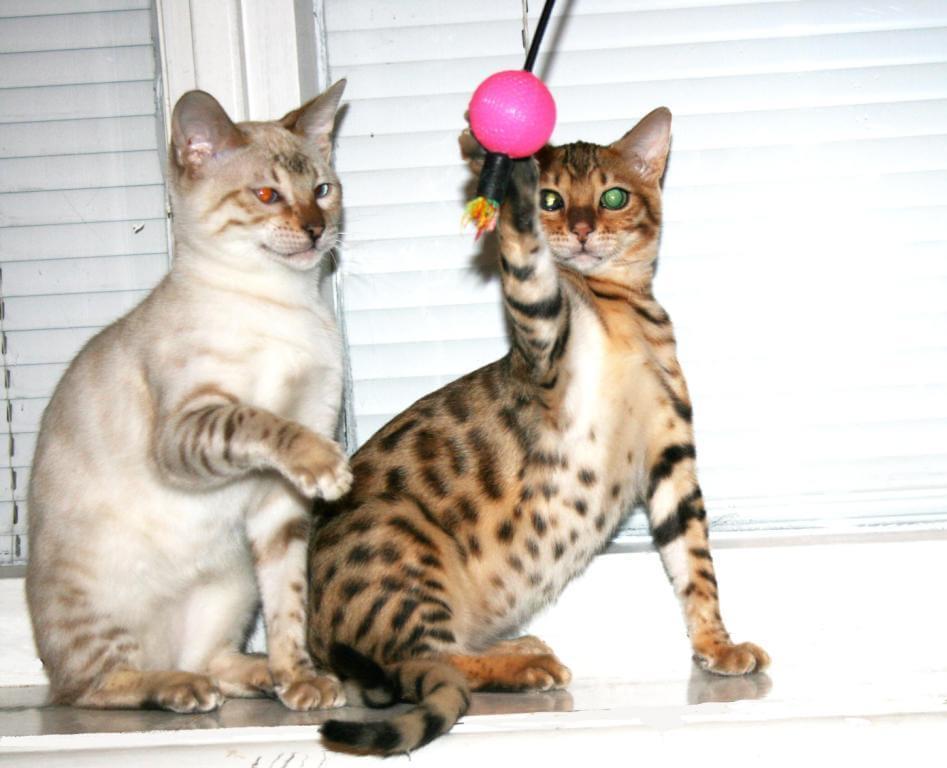 hildabeng бенгальски котята