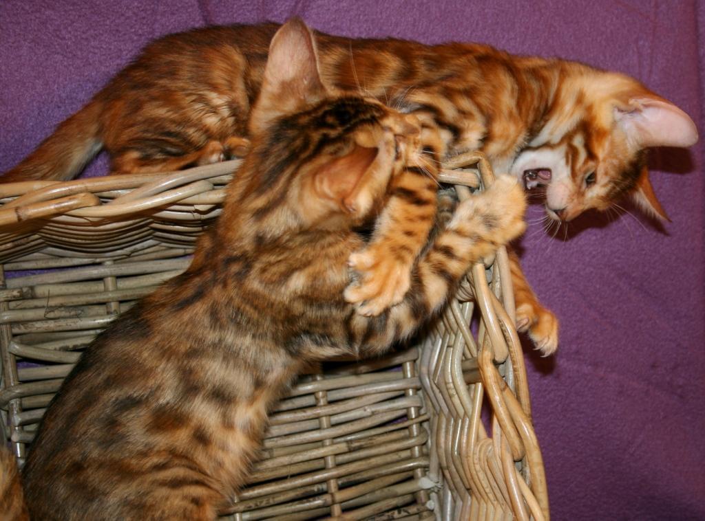 Половое созревание бенгальских котов