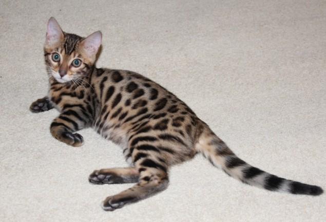 Бенгальская порода кошек: история, описание, внешний вид, уход ... | 432x635