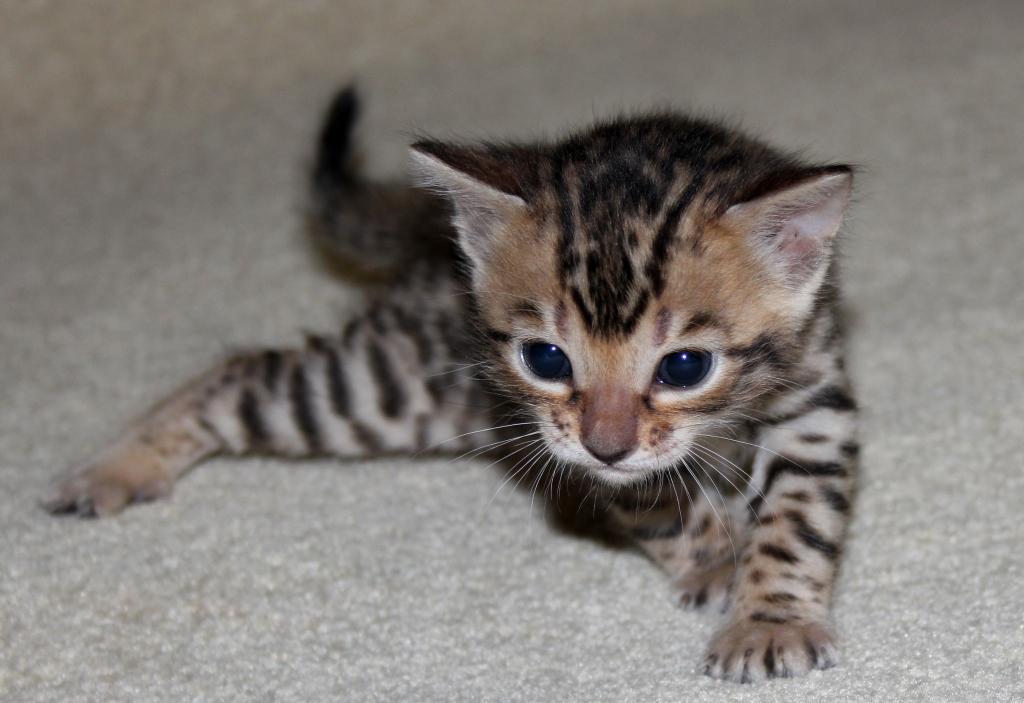 фото бенгальский котенок